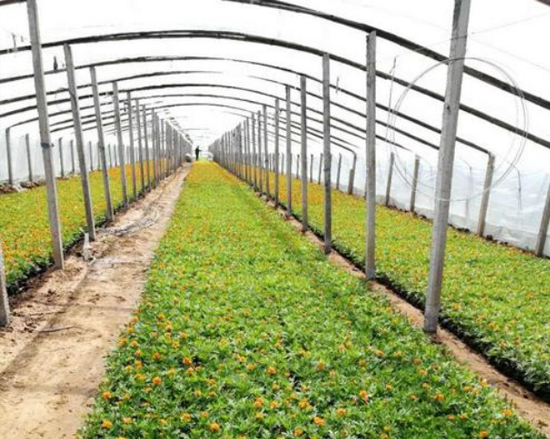 五色草种植基地